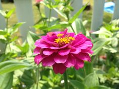 Cut and Come Again Zinnias just keep coming all summer.