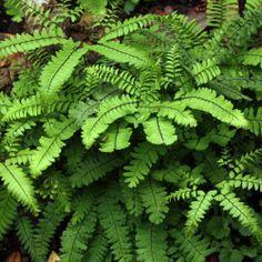 Adiantum aleuticum 'Imbricatum' Maidenhair fern