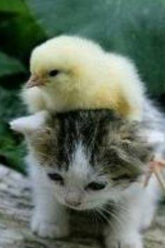ねこ&ひよこ♡ / Kokideto sur katideto / Chick on kitten / Funny Birds, Cute Funny Animals, Cute Baby Animals, Animals And Pets, Funny Pets, Funny Jokes, Funniest Memes, Fun Funny, Farm Animals