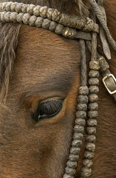 Domestic Horse Equus Caballus Wearing (by Pete Oxford)