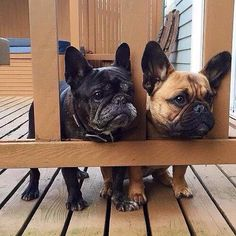 French Bulldog Security Guards❤️