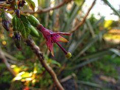 Native Fuchsia New Zealand