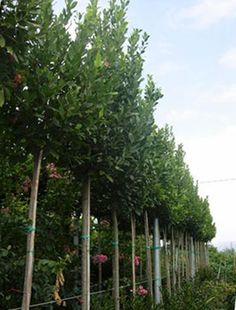 We grow quality Mature and semi mature trees, from cm to cm. Native Irish, deciduous, and evergreen trees. Plant Design, Garden Design, Bay Laurel Tree, Laurel Hedge, Laurus Nobilis, Privacy Trees, Evergreen Trees, Small Trees, Hedges