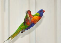Rainbow Lorikeet by Howie44, via Flickr