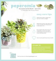 The sturdy and playful Peperomia is the 'Houseplant of the Month' in April. Garden Plants, House Plants, Indoor Shade Plants, Peperomia Plant, Gardening For Dummies, Plant Guide, Plant Identification, House Plant Care, Garden Care