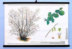 Vintage school antique poster chart original botanical wall art Hazel tree #KomeniumPraha Vintage School, Botanical Wall Art, Chart, Antiques, Plants, Poster, Antiquities, Antique, Plant