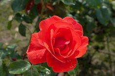 Rosa Feuerwerk® Magneet