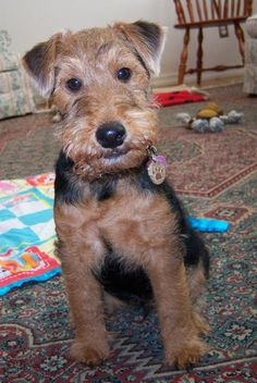 Sophie the Welsh Terrier Pictures 12022