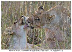 Bit of TLC.... Madikwe Safari Lodge, South Africa South Africa, Safari, Animals, Image, Animales, Animaux, Animal, Animais