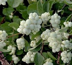 Snowberry - blooms in summer; sun to shade; moist to dry soil; - Front side garden- transplant from beside the car port Moon Garden, Side Garden, Garden Gate, Landscaping Plants, Garden Plants, Colorado Landscaping, Berry, Gum Paste Flowers, Lily Of The Valley