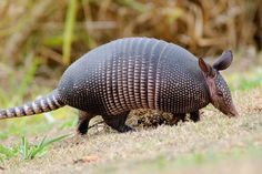 A Brazilian armadillo, photo by: Stephen, used under Creative Commons License(By ND 3.0)