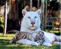 белоснежная тигрица и её котёнок.