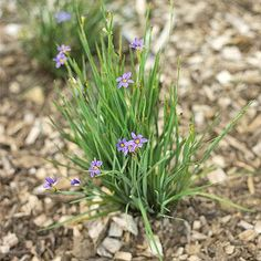 Sisyrinchium bellum (Blue-Eyed Grass) **