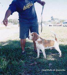 Beagle - Criação - Exemplares - Plantel - GYPSY! Gypsy da Pedra de Guaratiba! Site: http://www.canilpguaratiba.com/html/beagles.html  Facebook: http://pt-br.facebook/canilpedradeguaratiba Instagram: http://instagram.com/canilpguaratiba #canilpedradeguaratibabeagle  #canilpedradeguaratibabeagles  #canilpedradeguaratiba  #beagle  #beagles