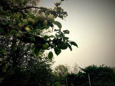 Apple, Fruit, The Fruit, Apples