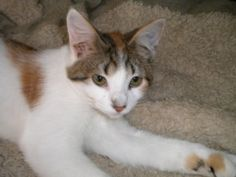 Polly is an adoptable Extra-Toes Cat (Hemingway Polydactyl) Cat in Saint Louis, MO. Polly, DOB 06/20/11 had a very hard start in life. As a 8 week old kitten, she was thrown from a car, crawled her wa...