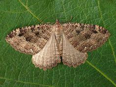 Papillon géométridae   Triphosa dubitata L'Incertaine, la Dent-de-Scie, La Douteuse