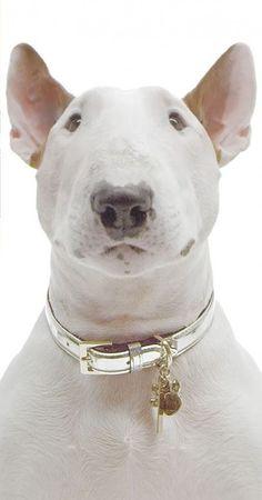 English Bull Terrier (10)