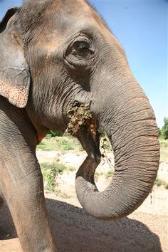 Lunch time - Volunteer with GoEco in Thailand with the Elephant Rescue and Conservation program - For more information visit the program page http://www.goeco.org/project/378/Volunteer_in_Thailand_Elephant_Rescue_and_Conservation#