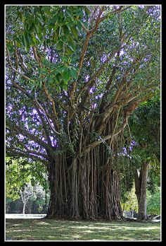 Mauritius - giant tree in the Pamplemousses botanical garden