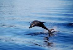 A dolphin doing it's thing on a Dusky Sound Discovery Cruise with Real Journeys