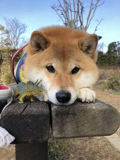 埋め込み Pictures Of Siberian Huskies, Cute Puppies, Cute Dogs, Animals And Pets, Cute Animals, Puppy Mills, Dachshund Dog, Shiba Inu, Akita