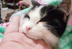 Calico kitten named pancake
