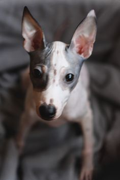 American Hairless Terrier,dog,puppy,собака,Американский Голый Терьер,pets