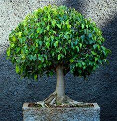 Wondering How Bonsai Trees Are Made? Bonsai Tree Price, Bonsai Trees For Sale, Bonsai Tree Care, Bonsai Tree Types, Indoor Bonsai Tree, Indoor Trees, Potted Trees, Bonsai Ficus, Bonsai Seeds