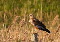 Gepind vanaf vroegevogels.vara.nl - Bruine Kiekendief
