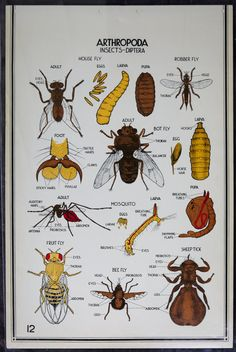 """Vintage Biology Classroom Wall Chart - Insects, flies 24"""" x 36"""" on Etsy, $40.00"""