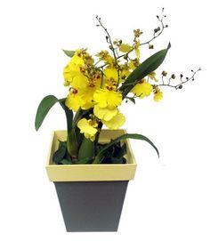 Oncidium aloha iwanaga: Também conhecida como chuva de ouro, essa orquídea, sempre amarela, pode dar de 30 a 40 flores por haste. Sua altura varia entre 15 e 20 cm e as flores duram de 20 a 30 dias. Geralmente, floresce uma vez ao ano. Deve ficar à meia-sombra, evitando o sol direto entre 11h e 14h.  A rega depende do substrato que vem no vaso: casca de madeira absorve mais rápido a água, pedindo regas mais frequentes; já se for um musgo, fibra de coco ou xaxim, ela pode ser mais espaçada…