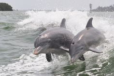 Is There Hope for Taiji's Dolphins? What We've Learned From This Year in The Cove  http://www.onegreenplanet.org/animalsandnature/is-there-hope-for-taijis-dolphins-what-weve-learned-from-this-year-in-the-cove/