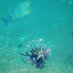 #lionfish at #seafdec in #Guimaras. 'Do not touch me, I am poisonous!' Swim the other way. #sealife #philippines #blogger #travel #photography #ilovephilippines #itsmorefuninthephilippines