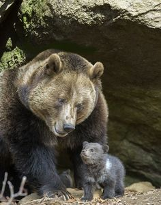 Proud Grizzly Bear Mother and her Baby Cub - Aww!