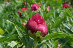 Transplanting Peonies Might be getting some more, and should probably move the ones I've got...