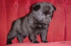 Schipperke babies are always alert and on the watch.