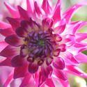 Dahlia 'Dutch Explosion', 'Dutch Explosion' Dahlia, Cactus Dahlias, Bicolor Dahlia Flowers, Purple Dahlias, Dahlia Tubers, Dahlia Bulbs, Dahlia Flower, Dahlia Flowers, summer bulbs