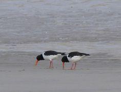 Scholeksters op het strand van Texel,  //Natuurfotografie May Basten: Scholeksters