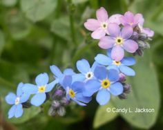For Get Me Not Flowers Perennials | Forget Me Not, Ultra Marine, Purple & Pink Flowers, Hard to Find Seeds