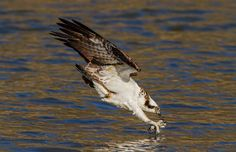 """""""I took this photograph near the spillway of Jordan lake dam shortly after the Osprey returned to my area for the 2013 season. Early in the spring, you can find them fishing at the base of the dam. I love photographing wildlife, but have a special place in my heart for any type of raptor."""" (© Brad Lenear/National Geographic Traveler Photo Contest)"""