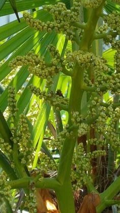 Palmboom in bloei