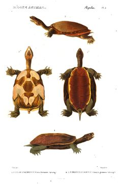 "Turtles in ""Le règne animal distribué d'après son organisation"" from Georges Cuvier, [1836-49] #Booktower"