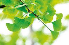 Ginkgo biloba fa zöld levelei a napsütésben.