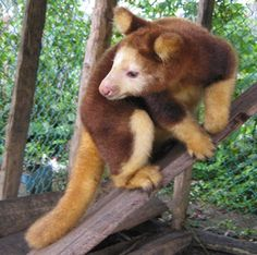 The Tree Kangaroo is an amazing creature that can leap down from a height of 10 meters with ease and spring into trees, using its strong legs and its tail, as a rudder. It is also pretty damn cute, but, unfortunately, that doesnt stop man from destroying its habitat and putting it on the endangered animals list. Help stop the destroying of their homes!!!