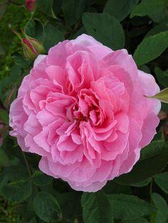 'The Mayflower' rose