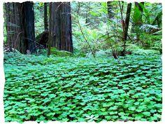 clover fields - Google Search