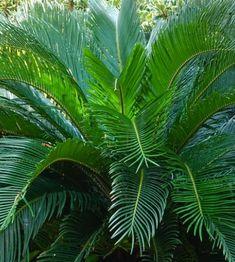 Comment planter et cultiver un cycas ? Comment Planter, Plantation, Container Gardening, Plant Leaves, Backdrops, Planters, Place, Gardens, Flowers