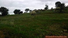 #Ytuquemiras #Oveja #Extremadura #LaHoraMagica265 @Extremadurismo @jachajigo @FCExtremadura @viajarporextrem