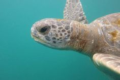 Endangered green turtles may feed, reside at Peru's central, northern coast   Science Codex